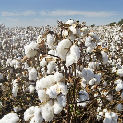 Image of a field of cotton